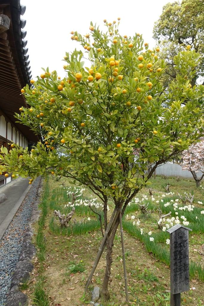 橘寺の自然