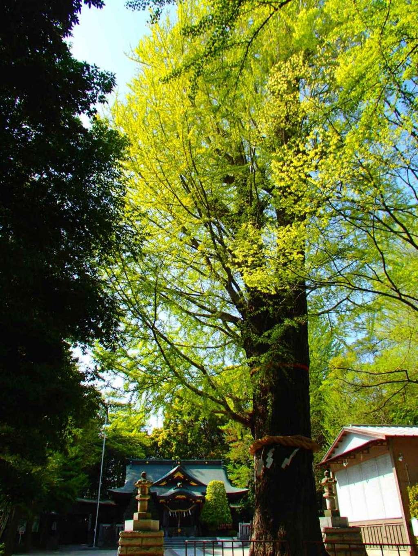 春日部八幡神社の自然